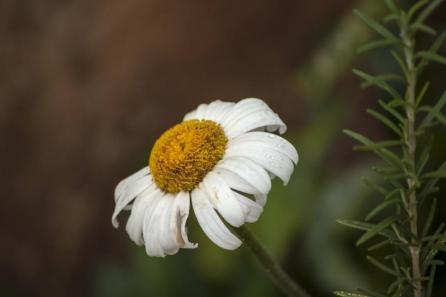 dying-daisy