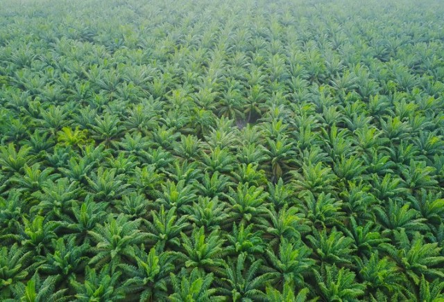 Aerial view of green palm plantation during sunrise.